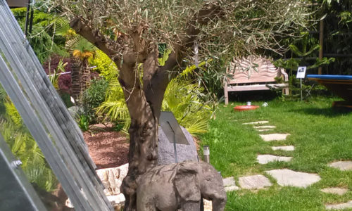 Ein 100-jähriger Olivenbaum in Sparberegg. Das absolute Highlight im Garten von Ing. Karl Harry Höfler.