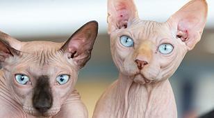 Bei den Nacktkatzen fehlt nicht nur das Fell, sehr oft sind auch die Tasthaare fast ganz weggezüchtet, die für normale Katzen wichtig für ihre Orientierung sind. Daher lässt sich auch hier von einer Qualzucht sprechen.