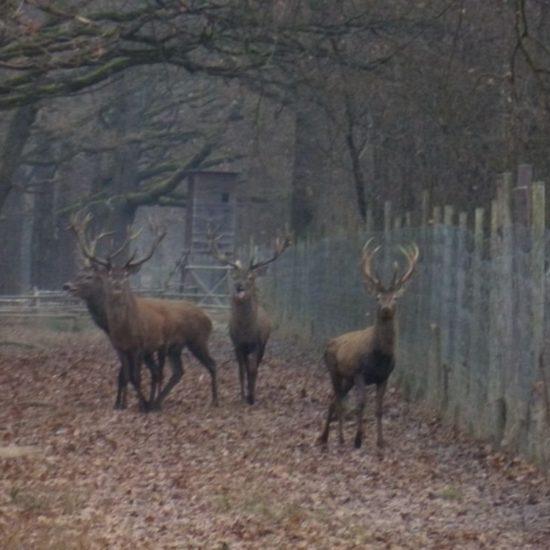 Gatterjagd im Burgenland weiterhin erlaubt