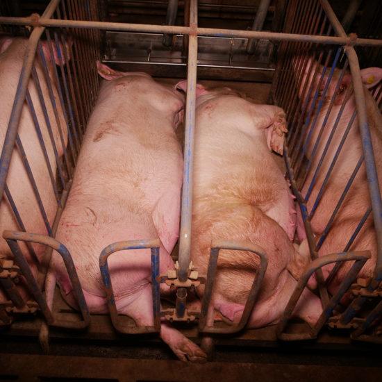 """""""Tierqual-Stätte"""" im Burgenland: Schweine in Käfigen – der VGT deckt auf"""